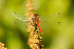 RUDDY DARTER (_jypictures) Tags: animalphotography animals animal animalplanet canon canon7d canonphotography wildlife wildlifephotography wiltshire naturephotography nature photography pictures dragonfly dragonflyphotography ruddydarter darter