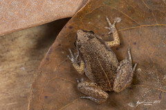 Northern Whistling Frog (R. Francis) Tags: northernwhistlingfrog austrochaperinagracilipes ryanfrancis ryanfrancisphotography qld queensland capeyork capeyorkpeninsula wenlockriver northqueensland