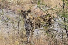 DSC_2560 (Andrew Nakamura) Tags: etosha namibia etoshanationalpark projectdragonfly earthexpeditions mammal bigcat felid leopard africanleopard animal wildlife