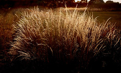 Wild grass (Garter Blue) Tags: grass meadow countryside bodicote oxfordshire evening