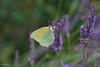 Butterfly (Stei&Helvi) Tags: butterfly animal nature macro lavender sony alpha insect papillon bee abeille summer lavande été flower flora floral wildlife