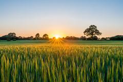Feldlandschaft - Explored (rahe.johannes) Tags: felder baum sonnenuntergang sonnenstrahlen schleswigholstein meinsh derechtenorden landschaft getreide landwirtschaft schönberg