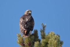 Red-tailed Hawk (Hammerchewer) Tags: redtailedhawk bird raptor wildlife outdoor yellowstone