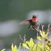 Ruby-throated Hummingbird (Jonah Benningfield) Tags: nice