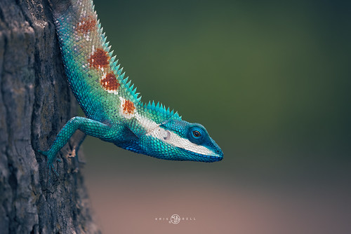 Blue crested lizard (Calotes mysteceus)