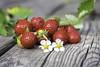 Wild strawberries (wcapraro) Tags: strawberry strawberries wild red flower ripe sweet wood fruit fruits leaf closeup vintageglass zeiss flektogon