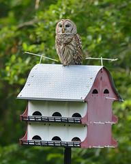 Barred Owl (stephaniepluscht) Tags: alabama 2018 barred owl martin house bird tony monica
