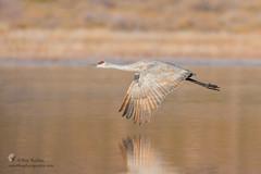 Sandhill Crane (Ray Robles) Tags: sandhill crane bosque del apache bird birds birdperfect birding birdphotography birdwatching