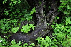 rains and green | Valley of Flowers (arnabchat) Tags: arnabchat india uttarakhand 2018 july2018 rains monsoon nature valleyofflowers himalayas trek trekking canon6dmkii forest