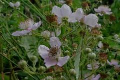 1479-19L (Lozarithm) Tags: caenhill devizes wilts canals flora wildflowers roses kennetavon k50 pentax zoom 1855 smcpda1855mmf3556alwr