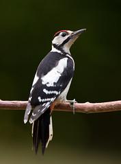 Great Spotted Woodpecker - Buntspecht (rengawfalo) Tags: birder birding outdoor dendrocoposmajor greatspottedwoodpecker buntspecht specht vogel bird animal wildlife tier macro wood
