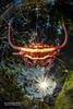 Kite spiny orb weaver (Gasteracantha falcicornis) - DSC_2416c (nickybay) Tags: mozambique gorongosa bugshot macro sofala chitengocamp cctv wideangle gasteracantha kite spiny orb weaver spider araneidae falcicornis