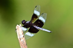 Widow Skimmer (deanrr) Tags: dragonfly backyarddragonfly skimmer widowskimmer nature outdoor alabamanature morgancountyalabama 2018 spring wings bandedwings stick grass male macro insect
