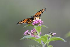 Monarch (Ralph J Clark) Tags: monarch butterfly madeira nikon200500mmf56