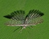 feather wing moth Alucita sp Alucitidae Airlie Beach rainforest  P1350545 (Steve & Alison1) Tags: feather wing moth alucita sp alucitidae airlie beach rainforest