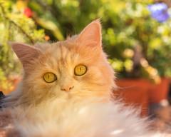 Summertime Linus (FocusPocus Photography) Tags: linus katze kater cat chat gato tier animal haustier pet sommer summer garten garden