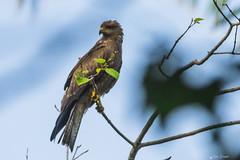 UNA AQUILA    ----    AN AGLE (Ezio Donati is ) Tags: uccelli birds animali animals alberi trees natura nature cieli sky fiori flowers africa costadavorio areayamoussoukrobasilica