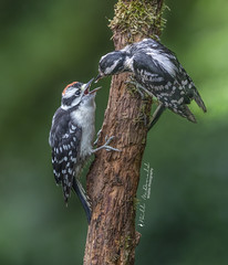 Downy Woodpecker feeding time (Bill McDonald 2016) Tags: woody woodpecker downy family mama perched feeding wwwtekfxca grenfellweeblycom billmcdonald june 2018 kitchener ontario canada