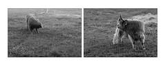 Luna & Louise (Eline Lyng) Tags: monochrome monochrom bw blackandwhite rural farm farmanimal animal scottishhighlandcattle cattle cow heifer norway østfold skotskhøylandsfe diptych leica leicalens leicamonochrom ccd m rangefinder manualfocus 75mm aposummicron75mm aposummicron