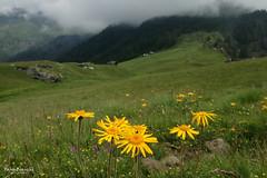 L'Oro del campo (Fabio Bianchi 83) Tags: oro gold arnica prato grass pasture alps alpes alpen alpecama valleantrona antrona antronavalley ossolavalley valdossola