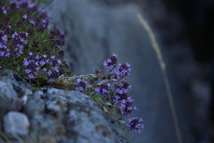 A wilder kind of thyme (liisatuulia) Tags: porkkala träskö