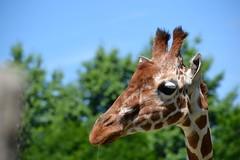 Somalische giraffe (Tim Sträter) Tags: diergaardeblijdorp dierentuin rotterdam rotterdamzoo zoo somalischegiraffe netgiraffe giraffacamelopardalisreticulata giraffareticulata reticulatedgiraffe