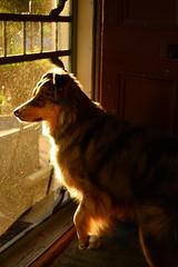 Golden Boy (flashfix) Tags: june252018 2018inphotos ottawa ontario canada nikond7100 28mm flashfix flashfixphotography sock dog canine animal pet austrailanshepherd triaustrailanshepherd bluemerle tricolour heterochromia