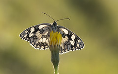 Marbled White (Melanargia galathea). (Bob Eade) Tags: marbledwhite macro male sussex seaford southdownsnationalpark summer melanargiagalathea morning black white butterfly wildlife nature nikon lepidoptera eastsussex downland d