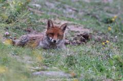 Un regard... (fauneetnature) Tags: renard fox animalier animal faune maurienne savoie alpes alps animauxmontagne mountainanimals