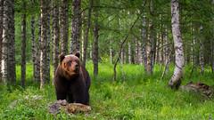 Brown Bear (DrScottA) Tags: borealforest finland taiga taigaspirt mammal wildlife wild nature scandanavia sunrise europeanbrownbear bear ursusarctosarctos kuhmo