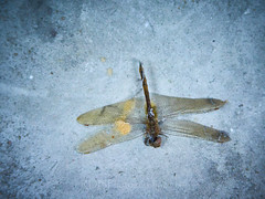 A Dragonfly Falling 06 (C & R Driver-Burgess) Tags: dead lifeless insect grim dark circleoflife concrete grey empty bare cold harsh blue yellow wings abdomen eyes head floor ground grounded