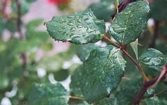 Brillando Bajo la LLuvia (Tomás Hornos) Tags: lluvia rain leaves leaf gotasdelluvia planta verde green d3200 jardín macrofotografía macro primavera