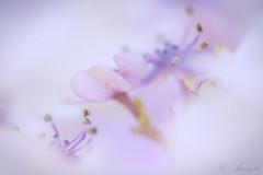 Flora (annegbt) Tags: hortensia flora annegbt hydrangea