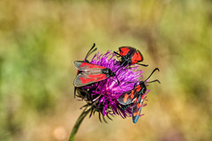 Thymian-Widderchen und Sechsfleck-Widderchen (stefangruber82) Tags: alpen alps tirol tyrol zygaenapurpuralis zygaenafilipendulae sixspotburnet schmetterling rot red butterfly
