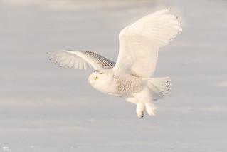 ''Rafraîchissement!'' harfang des neiges-Snowy owl