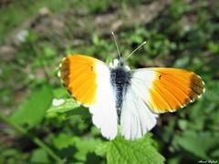 Butterfly 1697 (+1300000 views!) Tags: butterfly borboleta farfalla mariposa papillon schmetterling فراشة aurore
