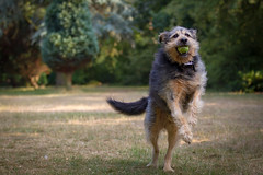 Henry (jeff.cranwell) Tags: pet henry park tennis ball 1d action jumping leaping 70200
