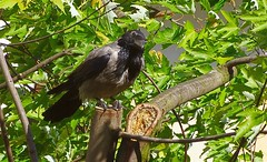 Hooded crow (wrona) (Jurek.P) Tags: birds bird crow hoodedcrow wrona ptaki ptak jurekp sonya77