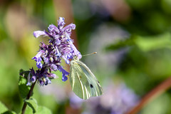 Sheffield Botanical Gardens (Rich Jacques) Tags: botanicalgardens sheffield july 2018 canon eos450d butterfly insect flower nature wildlife plant naturephotography