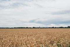 Kornfeld-2 (haraldklein2201) Tags: feld field getreide grain kornfeld