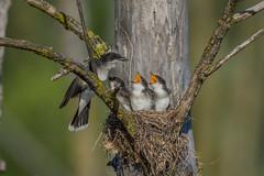 Tyran tritri / Eastern kingbird (Sammyboy77) Tags: tyrantritri tyrannustyrannus easternkingbird chick feeding nest