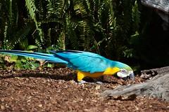 Arara (Carlos Santos - Alapraia) Tags: arara ngc ourplanet animalplanet canon nature natureza wonderfulworld highqualityanimals unlimitedphotos fantasticnature birdwatcher ave bird pássaro