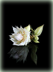2018 Sydney: Blushing Bride (dominotic) Tags: 2018 blushingbride flower plant floweringprotea serruriaflorida petal white reflection blackbackground sydney australia