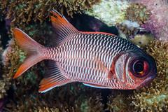 Violet Soldierfish - Myripristis violacea (zsispeo) Tags: actinopterygii beryciformes holocentridae myripristis osteichthyens teleostei violaceus laréunion 974 soldierfish reeffishes reef indianocean