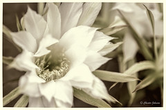 _DSC2503 (Chester Johnson) Tags: echinopsis flowersplants macro cactus white