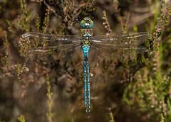 Emperor (Peter Quinn1) Tags: emperor emperordragonfly moorland heather derbyshire easternmoors easternmoorspartnership dragonfly bigmoor