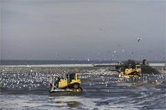 Battle against Birds (herman van hulzen) Tags: hermanvanhulzen netherlands nederland camperduin sandsuppletion zandsuppletie men people birds seagulls meeuwen battle caterpillar