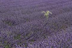_MG_4886 gerbe de blé champ de lavandes (jeanpaul 13630) Tags: fleurs lavandes blé eté ventoux valensole