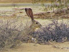 Rabbit! (thomasgorman1) Tags: desert baja rabbit jackrabbit outdoors brush canon portrait nature wildlife hiding ears animal