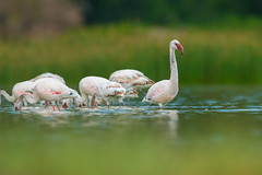 Lesser Flamingo (Mujtaba Hussain Shah) Tags: lesser flamingo kenya africa safari lake elementaita african birds natgeo wild pink featured shot photography wildlife explore